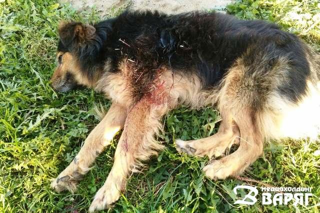 Застреливший двух собак житель Пинского района предстанет перед судом