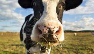 украли корову