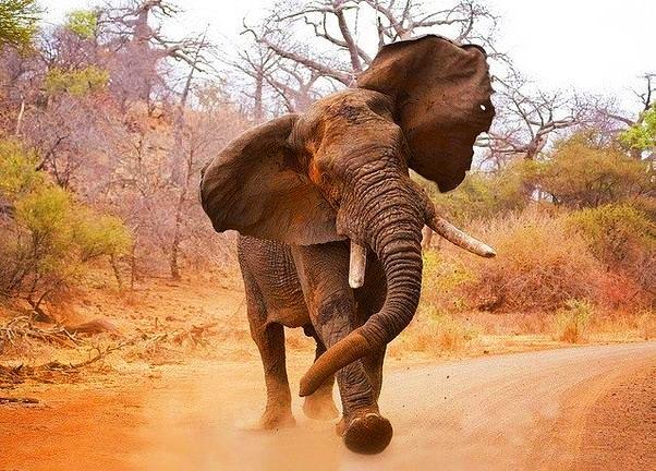 агрессивный слон