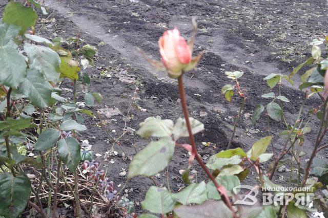 В Пинске в январе цветут розы, маргаритки и фиалки