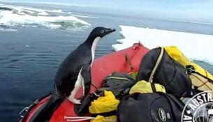 Новый хит на YouTube: пингвин запрыгнул в лодку ученых - видео