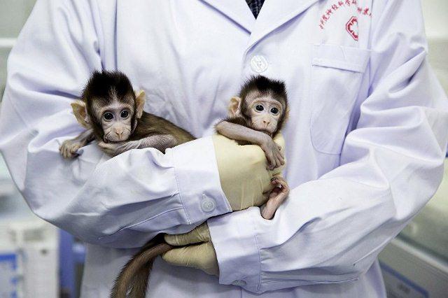 Ученые впервые успешно клонировали обезьян по методу овечки Долли