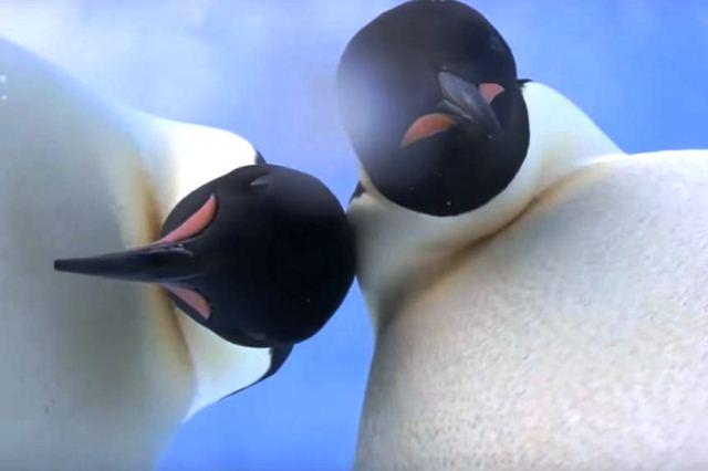Видео-хит на YouTube: в Антарктиде пингвины нашли камеру и сделали селфи - фото