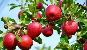 Обрабатываем яблони от вредителей - фото