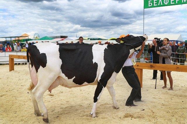 выбрали лучшую корову - фото