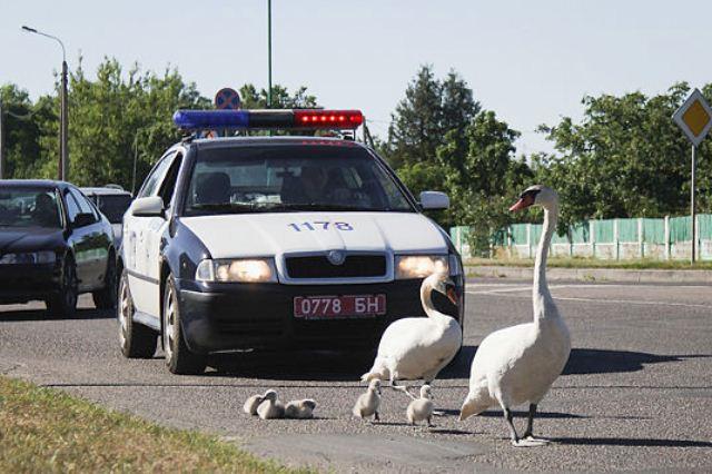 сотрудники ГАИ помогли лебедям - фото