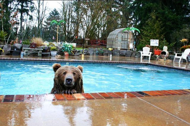 Медведи облюбовали бассейны - фото