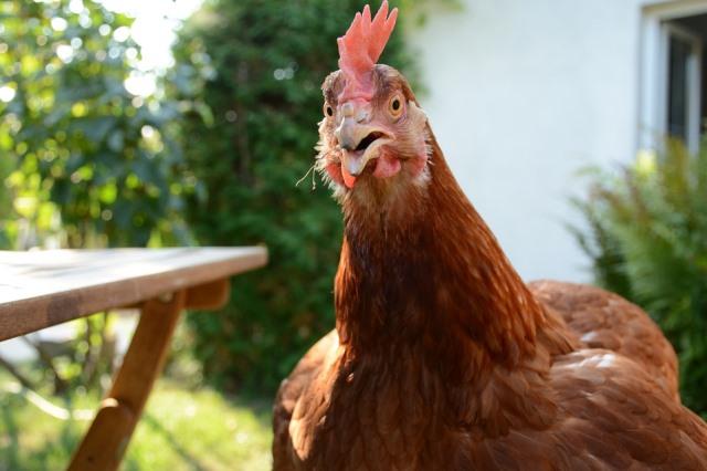 Куриное мясо дорожает - фото