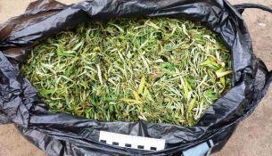полкилограмма марихуаны - фото