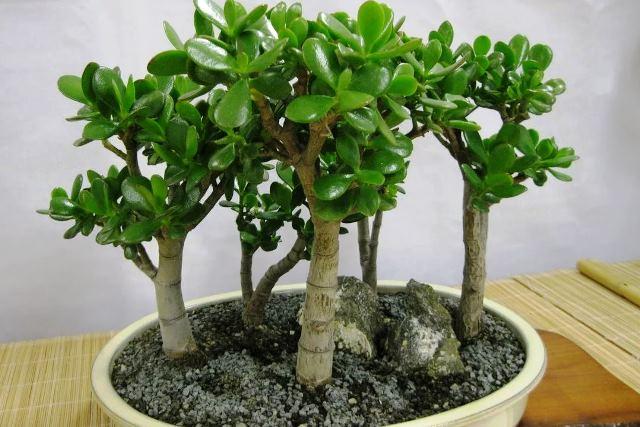 денежное дерево - фото
