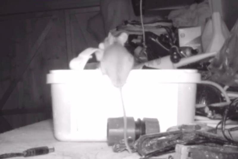 мышь, которая наводила порядок в его гараже - фото