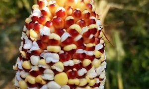 кукуруза превращается в попкорн - фото