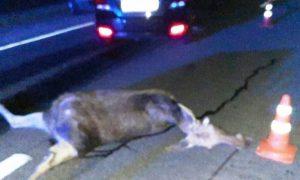 На дороге Барановичи-Ляховичи россиянин на Hyundai насмерть сбил лося