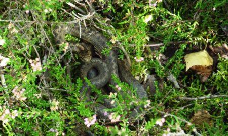 Логово медянок: редкий вид змеи - фото