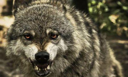 волк напал на деревню - фото