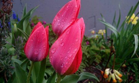 Тюльпан - фото