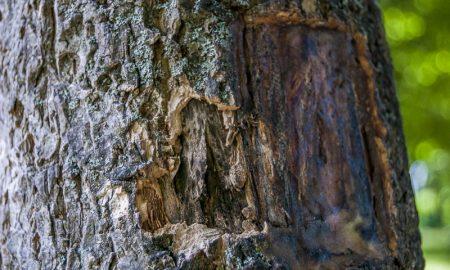 пробковое дерево - фото