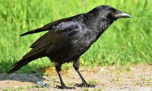 ворона стащила деньги - фото
