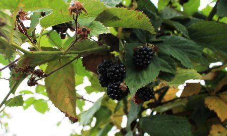 на Полесье ягоду выращивают - фото