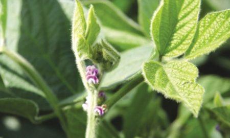 семена сои - фото