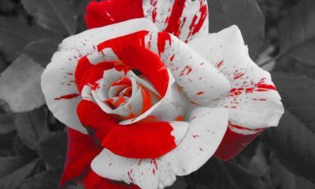 значение необычных цветов роз - фото