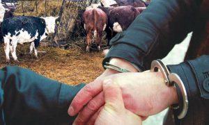 Серия хищений крупного рогатого скота раскрыта в Пинске - фото