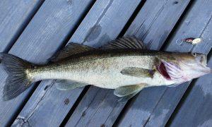 Рыба судак - фото