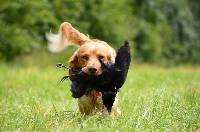 Собака на охоте - фото